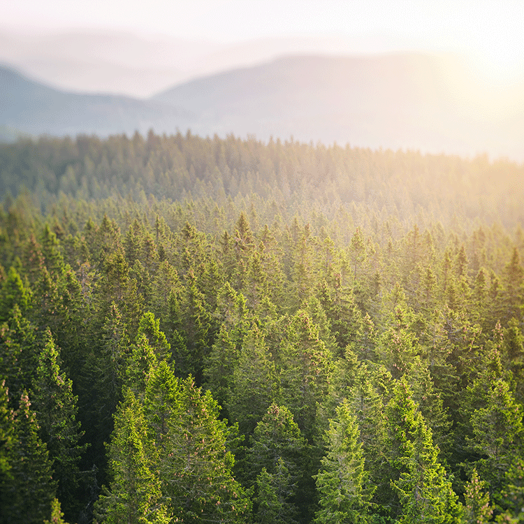 lush forest of evergreens